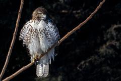 Red-tailed Hawk (John Picken) Tags: animal bird chicago illinois montrose ornithology picken raptor redtailedhawk usa juvenile immature