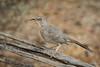 Curve-billed Thrasher (Turk Images) Tags: curvebilledthrasher saguaronationalparktucsonmountaindistrict toxostomacurvirostre arizona birds cbth desert mimidae thrashers tucson winter