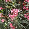 Oleander (idunbarreid) Tags: oleander