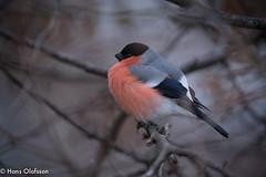 Bullfinch  /Domherre (Pyrrhula pyrrhula) (Hans Olofsson) Tags: bird bullfinch domherre fågel fåglar garden natur nature pyrrhulapyrrhula skammelstorp trädgård nordicwinterlight nordic winter light