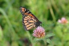 Monarch Butterfly 502 - Danaus Plexippus (Chrisser) Tags: insects insect butterflies butterfly monarch danausplexippus nature ontario canada canoneosrebelt6i canonef75300mmf456iiiusmlens nymphalidae