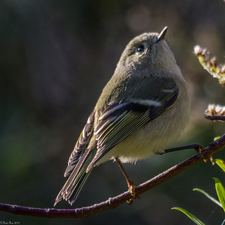 Ruby-crowned Kinglet [Regulus calendula]