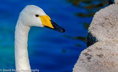Swan Up Close (mylesfox) Tags: swan lake eola close up