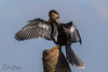 Fluff it... (Carol Huffman) Tags: breedingcolors birds wildlife anhinga preening behavior fl florida