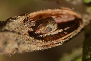 True bug nymph in a seed capsule of Bush Monkeyflower
