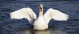 Mute Swan ANR 28th Dec 2017