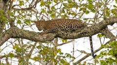 Happy New Year 2018 (spiderhunters) Tags: happynewyear leopard pantherapardus nagarholenationalpark karnataka india wildcat bigcat panther mammal wild