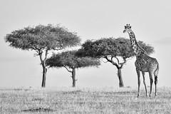 Cuestión de perspectiva (David Perez Lopez) Tags: jirafamasai giraffacamelopardalistippelskirchi masaigiraffe kenia mara áfrica nikon d4s 200400vrii