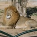 Lion at Tunis Zoo