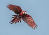 Red-and-Green Macaw (tickspics ) Tags: amazonbasin arachloropterus bahuajasonenenationalpark heathriverclaylick macaws neotropicalparrots peru psittacidae redandgreenmacaw southamerica tambopata tropicalrainforest