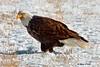 Bald Eagle (Gary O'Dell (sagebrushphotography)) Tags: snow winger eagle baldeagle americaneagle birdsofprey feeding