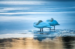 Trying to get some sleep... (Wim Air) Tags: swan swans birds lake grimming winter frozen cold white wimairat