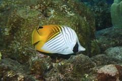 bright yellow/bright white (BarryFackler) Tags: marine marinelife sea ocean reef tropical konadiving bigislanddiving chaetodonauriga threadfinbutterflyfish kikakapu butterflyfish cauriga fish organism creature being barryfackler barronfackler bay 2017 westhawaii water ecology ecosystem undersea underwater island outdoor polynesia pacific pacificocean animal aquatic southkona scuba seacreature sealifecamera sandwichislands saltwater sealife diver diving dive fauna hawaii hawaiiisland hawaiicounty honaunau hawaiidiving nature hawaiianislands kona konacoast life zoology coral coralreef vertebrate
