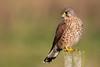 Kestrel (Simon Stobart) Tags: kestrel falco tinnunculus sat post northeast england sun coth5 ngc npc