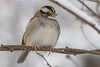 White-Throated Sparrow in the Snow 12-9-2017-26 (Scott Alan McClurg) Tags: emberizidae passeri passeroidea zalbicollis zonotrichia animal back backyard bird delaware life nature naturephotography neighborhood perch perching portrait snow snowing songbird sparrow suburbs whitethroated whitethroatedsparrow wild wildlife winter