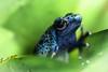 Not all frogs turn into Princes... (marionrosengarten) Tags: frog poisondartfrog nature amphibian venomous giftig pfeilgiftfrosch blau vivarium tiere animals blue macro nikon tamron90mmf28divcmacro nopane dangerous workshop photographer reinhardmink leaf plant green bromeliad sitting flash reflection eye