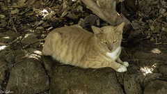 Feral cat (Thad Zajdowicz) Tags: zajdowicz hawaii usa travel availablelight honolulu leica lightroom animal fauna cat feral felis ginger color hanaumabay face eyes ears nose paws fur