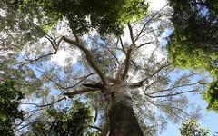 Blackbutt (Eucalyptus pilularis) (Poytr) Tags: blackbutt eucalyptus eucalyptuspilularis myrtaceae middlebrothermountain benaroon kendall portmacquarie gianttree tree sky landscape