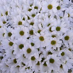 2017-12-12 06.11.36 1 (beyzanurdurgut) Tags: monochrome macro flowers white