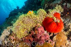 _DSC4071.jpg (pinocnt) Tags: crociera cruise daedalusisland egitto egypt marrosso redsea underwater vacanza