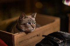 Cat-In-A-Box (Keoni Cabral) Tags: animal blueeyes box canon8512ii catblueeyes catbox cateyes catinbox eye eyes feline housecat kitty kittycat look pet pets rescuecat sonya7rii