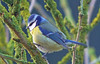 Blue tit! (georgepulford) Tags: infocus lowcontrast highquality