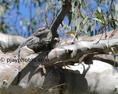 Tawny Frogmouth (Podargus strigoides) (pjayphotos) Tags: australia bird frogmouth podargusstrigoides tawnyfrogmouth