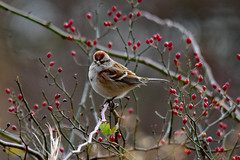 Christmas Sparrow (Jays and Jets) Tags: bird birds animal animals sparrow americantreesparrow berries terrehaute indiana jicasewetland hawthornpark