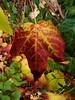 P1100406 (Traud) Tags: deutschland germany bavaria bayern herbst autmn fall leaves coloured