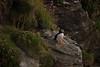 Memories (4oClock) Tags: orkney nikon d90 18105 nikkor islands scotland britain uk north archipelago westray island paradise sunset sun lowsun summer westraak castleoburrian puffin birds wildlife burrow home