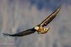 Juvinile Bald Eagle (mayekarulhas) Tags: darlington maryland unitedstates us juvinile bald eaglebald canon canon500mm canon14converter canon1dxmark2 conovingo bird avian wildlife raptors