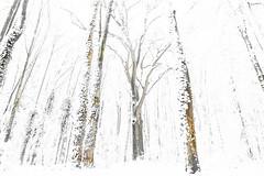 The Winter Forest (Renate van den Boom) Tags: 12december 2017 boom bos europa gelderland highkey jaar landschap maand natuur nederland oosterhout renatevandenboom sneeuw stijltechniek weer