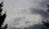 Starlings (spreeuwen) dec. 2017 (megegj)) Tags: gert spreeuwen starlings herfst autumn fall birds vogels