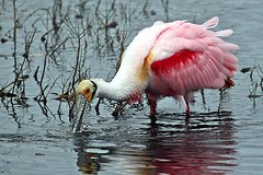 Roseate Spoonbill (c) 2017 Walter Hackenjos all rights reserved.