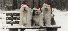 two days till Christmas (dewollewei) Tags: christmas oes bobtail dewollewei sophieandsarah sophieensarah dogs oldenglishsheepdog oldenglishsheepdogs sheepdog sheepdogs old english hats fluffy kerst weihnachten three