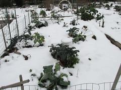 Garden Hotline - Community Gardens - Brassicas in the P-Patch (gardenhotline) Tags: community gardens edible veggies snow wallingfordtilthalliance brassicas