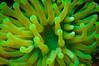 Medusa's Lair (RoamingTogether) Tags: condylactisgigantea diving florida floridakeys floridacondy giantcaribbeanseaanemone haitiananemone looekeynationalmarinesanctuary scuba scubadiving seaanemone watersports condylactisanemone giantgoldenanemone pinktippedanemone purpletippedanemone