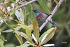 Souimanga à plastron rouge - Greater Double-collared Sunbird (Judith Lessard) Tags: oiseau bird oiseauxdafriquedusud birdsofsouthafrica souimanga sunbird souimangaàplastronrouge greaterdoublecollaredsunbird