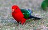 Australian King- Parrot-Alisterus Scapularis (tonydawe1) Tags: fieldguidebirds of the world australiankingparrot alesterusscapularis alisterusscapularis