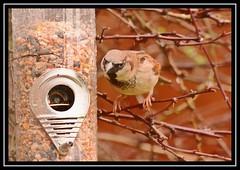 """Peering Sparrow..."" (NikonShutterBug1) Tags: nikond7100 tamron70300mm birds ornithology wildlife nature spe smartphotoeditor birdfeedingstation bokeh birdsfeeding sparrow 7dwf"