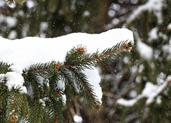 Snowy and cold (Millie Cruz*) Tags: snow cold pine window branch outdoor snowy winter pennsylvania soe