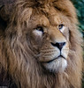 Zoo Jurques (GL Showa) Tags: jurques lion zoo félin animaux