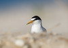 The Sand Pebbles (Kathy Macpherson Baca) Tags: animal birds aves earth planet sand endangered terns least beach summer nest feathers fly migrate wildlife nature