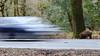 Motorists and Boars (Robin M Morrison) Tags: wild boar forestofdean