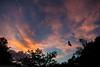 fruit bat sunset (dustaway) Tags: sky sunsetclouds poststorm fruitbats silhouettes lismore northernrivers nsw nature australia sunset twilight blossombats megachiroptera