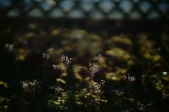 sunlight on winter grass (Amselchen) Tags: grass season winter light bokeh blur dof depthoffield sony a7rii alpha7rm2 samyang 85mmf14 sonyilce7rm2