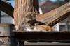 DSC03519lr (yoshitoshi ABe) Tags: 20180104 吉祥寺 井の頭自然文化園 α6500 sigma18300mmf3563dcmacrooshsmcontemporary014 サル