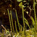 Equisetum, Boundary Bog, Prince Albert National Park thumbnail