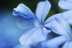In blue III (José Luis Pérez Navarro) Tags: macro azul blue flor flower flowers nature natura naturaleza texture textura jazmin garden jardin joseluisperez blacky2007 nikon plumbago plumbagoauriculata