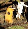 Yellowthroated marter Ouwehands BB2A4087 (j.a.kok) Tags: marter maleisebontemarter yellowthroatedmarter asia azie maleisie malayan animal ouwehands mammal zoogdier dier